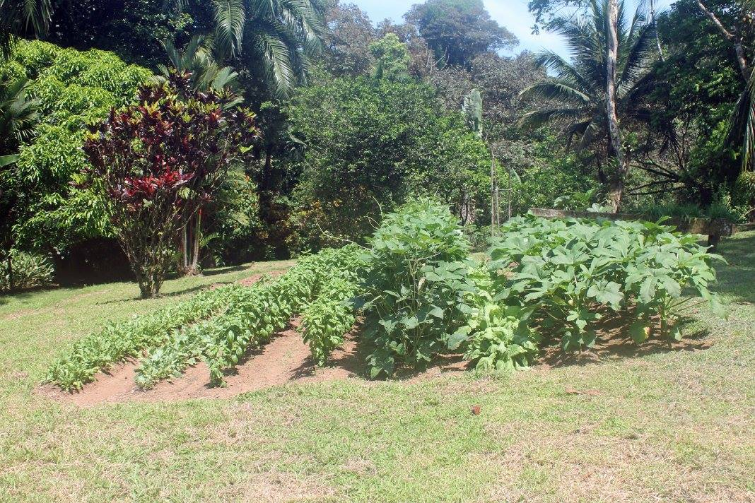 Vegetable garden with various greens, basil, black-eyed peas and okra